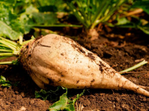 Close-up of a beet on a field